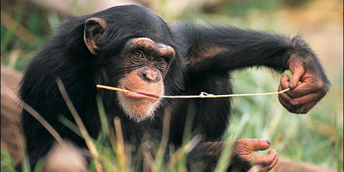 Chimpanzee—Inspiration