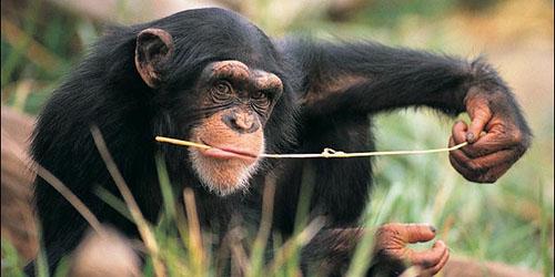 Chimpanzee—Inspiration